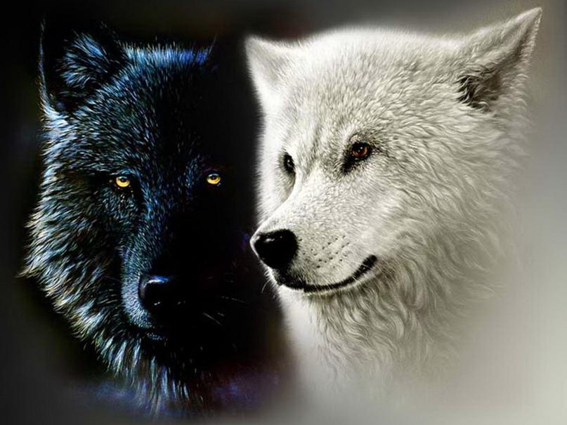 пацанские цитаты про волков