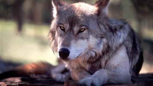 Смешные цитаты про волков