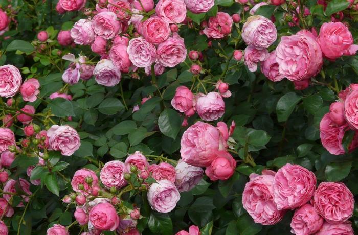 цитаты о розах