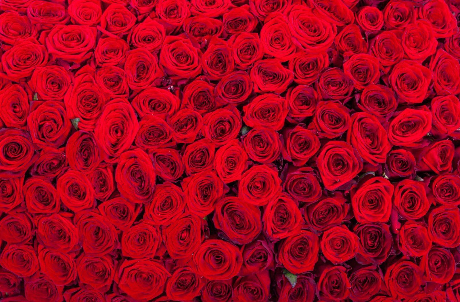 цитаты про розы